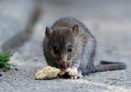 Одинокая женщина завела 300 ручных крыс и пожалела