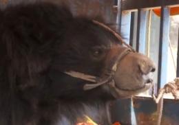 Последний в мире непальский танцующий медведь обрел дом