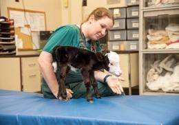 Обнаружен аномально маленький теленок размером с кошку