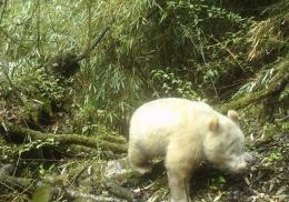Редчайшая панда-альбинос впервые попала на камеру