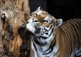 Первая в мире тигрица заразилась коронавирусом от человека
