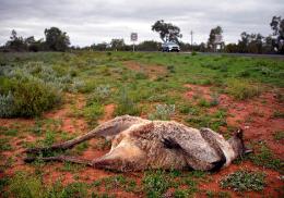 Китайцы забили камнями кенгуру ради развлечения
