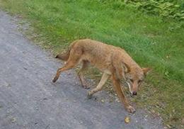 Бешеный койот укусил женщину в лицо во время прогулки в Нью-Йорке