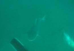 Схватка подводного охотника с одной из самых агрессивных акул попала на видео