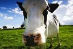 В следующем году США может обойти Европу по объемам производства молока