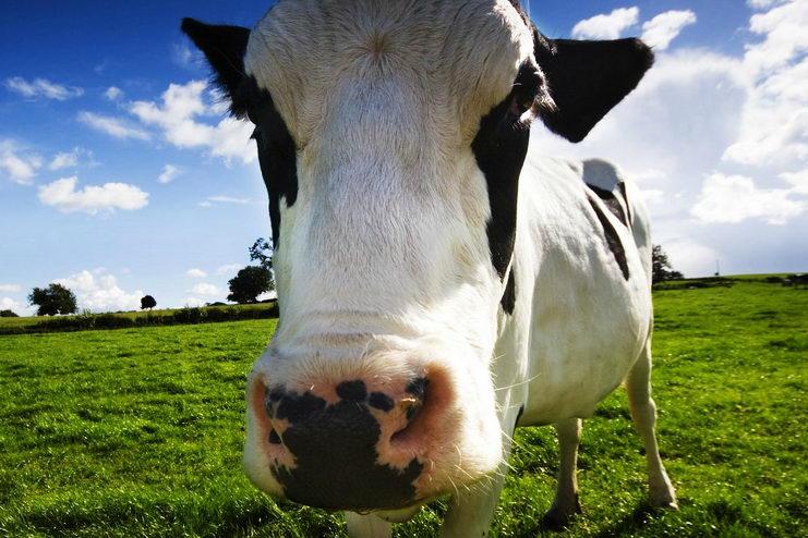 коровы в сша дают молоко