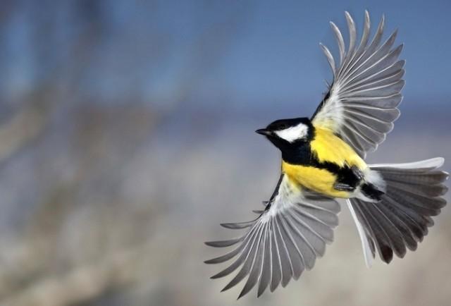 Sinica--pticamodnica