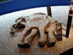 Российские учёные собираются вырастить мамонта в пробирке