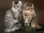 Прекрасный представитель семейства кошачьих