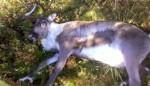 Норвежские ветеринары озадачены таинственной гибелью северных оленей