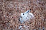 Тёплая зима сделала некоторых животных уязвимыми для хищников
