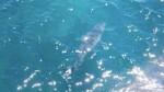 Недалеко от пляжа Южной Австралии увидели семиметровую белую акулу