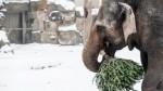 В берлинских зоопарках слонов кормят рождественскими ёлками