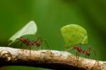 Видео уничтожения розы муравьями-листорезами стало вирусным