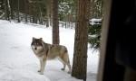 В центральных провинциях Швеции начался сезон охоты на волков