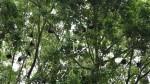 Совет Кэрнса обрезал смоковницу, бывшую домом для десятков летучих мышей