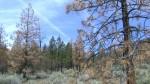 Засуха в Калифорнии губит миллионы деревьев