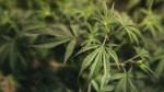 Медицинская компания Южного Перта арендовала территории для выращивании марихуаны в США