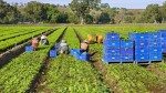 Вспышка сальмонеллы может попасть с зеленью в Сингапур, Таиланд и Гонконг