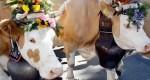 Швейцарский фермер добивается проведения референдума о государственной поддержке владельцев рогатых коров
