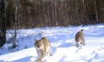 В Швеции получены уникальные кадры с дикой рысью