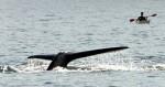 У берегов Японии кит в очередной раз оказался на пути скоростного парома