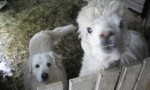 Шведские ламы приняли в свою семью взрослую собаку