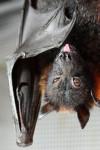 В Детройте поклонники Бэтмена смогут увидеть самую большую в мире летучую мышь