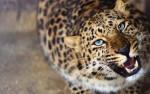 В Приморье появился известный леопард-долгожитель