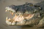 В Амстердаме наркоторговцы использовали в качестве охраны крокодилов