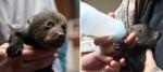 Из-за роста популяции «мишек Тедди» исключили из числа охраняемых видов