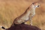 Российские генетики разгадали наследственный код гепарда