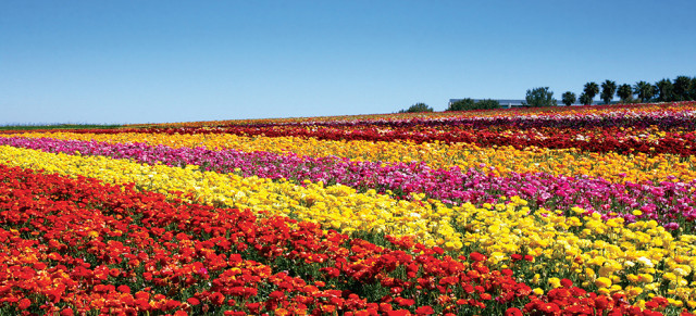 The-Flower-Fields-of-Carlsbad--Ranch-are-a-feast-for-the-senses-keyimage
