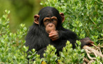 Ученые нашли у шимпанзе способность к символическим действиям