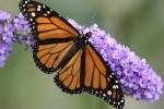 Бабочки-монархи могут вымереть в течение 20 лет