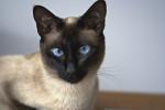 Сиамская кошка из Британии провела неделю без еды и воды в почтовой посылке
