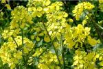 Качественные и урожайные семена рапса