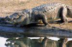 В Австралии женщина стала добычей крокодила во время ночного купания