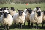 Британские овцы, наевшись каннабиса, атаковали деревню