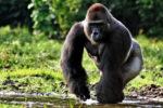 Зоопарк Огайо отстаивает решение застрелить гориллу
