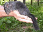 Глобальное потепление приведёт к исчезновению редкого вида крыс