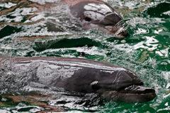 Названы возможные причины гибели сотен черных дельфинов в Новой Зеландии