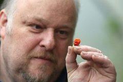 Британец вырастил самый острый перец в мире