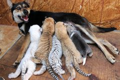 В китайском заповеднике собака стала кормилицей для четырех тигрят