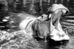 Умер самый старый в мире бегемот