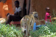 Павиан оставил без света десятки тысяч замбийцев