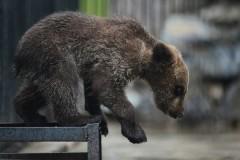 Из литовского кафе сбежал медведь