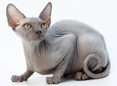 Все о кошках: канадский сфинкс