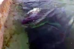 В Австралии выброшенную на берег белую акулу поселили в общественном бассейне