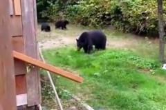 Вежливый канадец уговорил медведей уйти